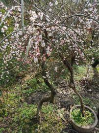 苏州梅花树桩