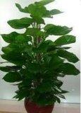 绿色植物租摆