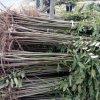 現貨供應紅油香椿苗 香椿苗批發 易成活好管理 免費指導種植
