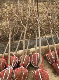 4公分杏樹怎麼賣?5公分杏樹多少錢一棵?