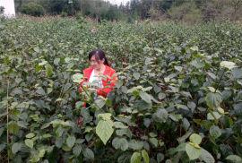 豆腐樹苗/樹葉豆腐樹苗的故事