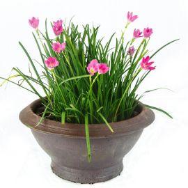 葱兰球根 葱兰花卉 地被植物 宿根花卉 很迷你 很漂亮 苗圃直销