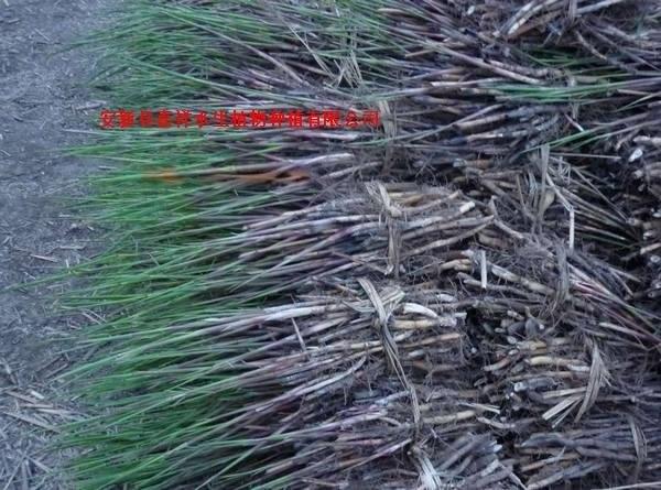 白洋淀芦苇苗 芦苇种苗价格芦苇种植批发基地