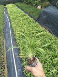 吉祥草与麦冬有什么不一样,福建吉祥草袋苗种植基地