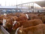 如何养肉驴,肉驴养殖技术,肉驴交易市场