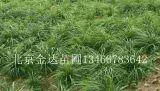 北京崂峪苔草崂峪苔草批发