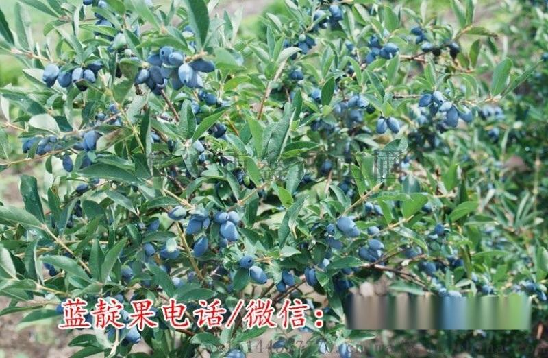 藍靛果苗 藍豐藍靛果苗 藍靛果忍冬苗 耐寒零下50度