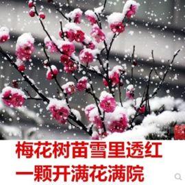 红梅梅花树苗腊梅树桩盆景庭院盆栽梅花苗嫁接原生骨里红当年开花
