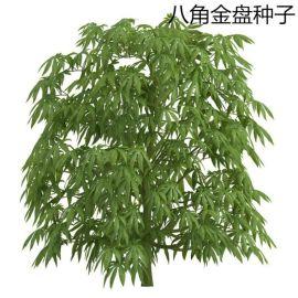 散装新采八角金盘种子 **植物八手手树金刚纂籽 金盘籽批发销售