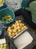 陝西杏子金太陽杏價格