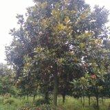 成都精品广玉兰供应广玉兰直销低价格树型优美长期供应