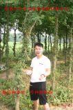 山东鲁皂一号皂角种苗树