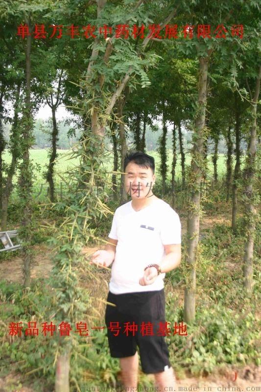 山東魯皁一號皁角種苗樹