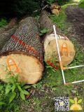 尚高木业到青岛港口的1000立方白橡原木