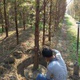 2米高水杉樹苗報價信息