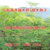 广西辣木种植基地图片/辣木树苗