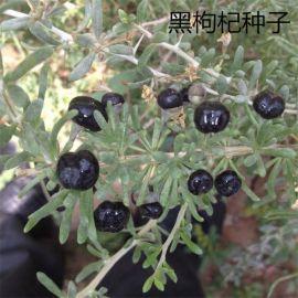 枸杞种子 阳台盆栽蔬菜蔬果枸杞子种子观赏食用花卉植物四季播种