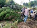 柳杉/胸径10公分柳杉/柳杉绿化苗