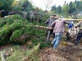 柳杉/胸徑10公分柳杉/柳杉綠化苗