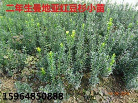 山东临沂曼地亚红豆杉高清图片 山东临沂曼地亚红豆杉繁育种植基