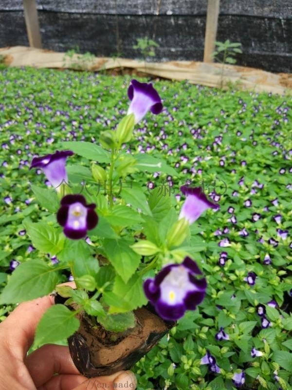 哪里的四季草花便宜草花鸡冠花非洲凤仙三色堇时令草花