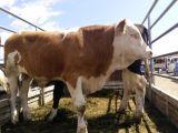 張北縣牲畜市場西門塔爾牛