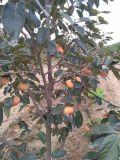 阳丰柿子苗-日本甜柿子苗-柿子苗价格-山西甜柿子苗
