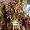 红香椿种子多少钱一斤?产地一手货源直销