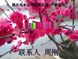 苏州梅花树种植苗圃、苏州香雪海梅花、光福邓慰山梅花、别墅花园绿化苗木