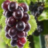 散装葡萄种子   葡萄树种子 红提子种美人指巨峰夏黑葡萄籽批发