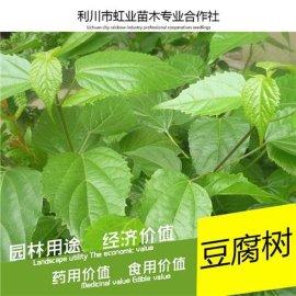 神仙豆腐樹苗/回憶小時候吃過的神豆腐
