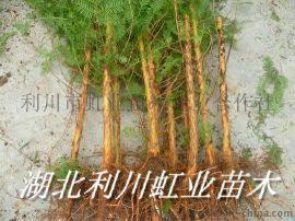 水杉苗/地径1公分以上水杉苗