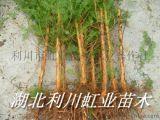 水杉苗/地徑1公分以上水杉苗