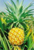 鳳梨蛋白酶批發廠家