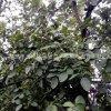 2016年批发鲜核桃 泰安青皮核桃 果实大 皮薄品种好