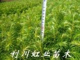 杉木苗/杉木苗价格/20公分杉木苗价格