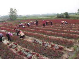 安徽肥西出售红叶石楠小苗,红叶石楠小毛球,红叶石楠球
