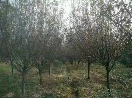 安徽肥西出售地精径2-12公分精品红叶李价格,紫叶李小苗
