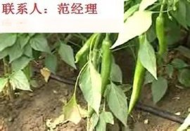草莓-滴灌管材价格-滴灌带厂家-滴灌管直销