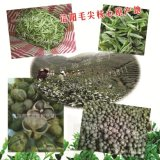 茶葉籽批發茶葉種子廠家綠茶籽大量供應