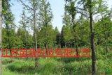 高2-8米的中山杉哪里有的卖  南京中山杉大量批发