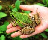 青蛙養殖具有以下多方面優勢