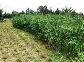 水生植物供應-成都苗木基地-成都旱傘草