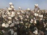 新疆棉花种子新品种_新陆中66_棉花种子供应商