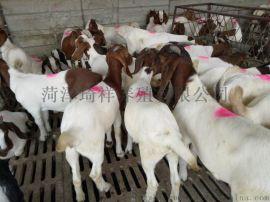 波尔山羊厂家,纯种波尔山羊,波尔山羊