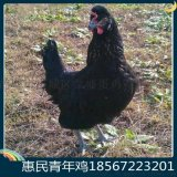 新杨黑青年鸡报价60日龄新杨黑60日龄青年鸡