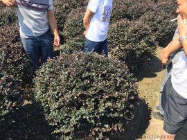 苗圃基地常年一站式供应红花继木球