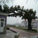 水泥假樹餐廳模擬樹模擬桃花樹水泥榕樹商場模擬樹
