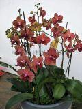 花卉,蝴蝶兰