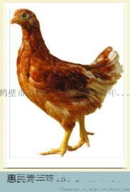 高产蛋率罗曼粉蛋鸡青年鸡